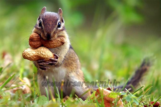 نگهداری حیوان خانگی - سنجاب